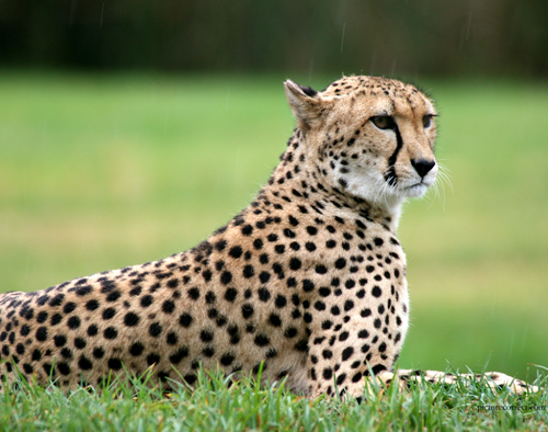 CONSERVE NATURE: Is cheetah programme of Govt  of India sound?