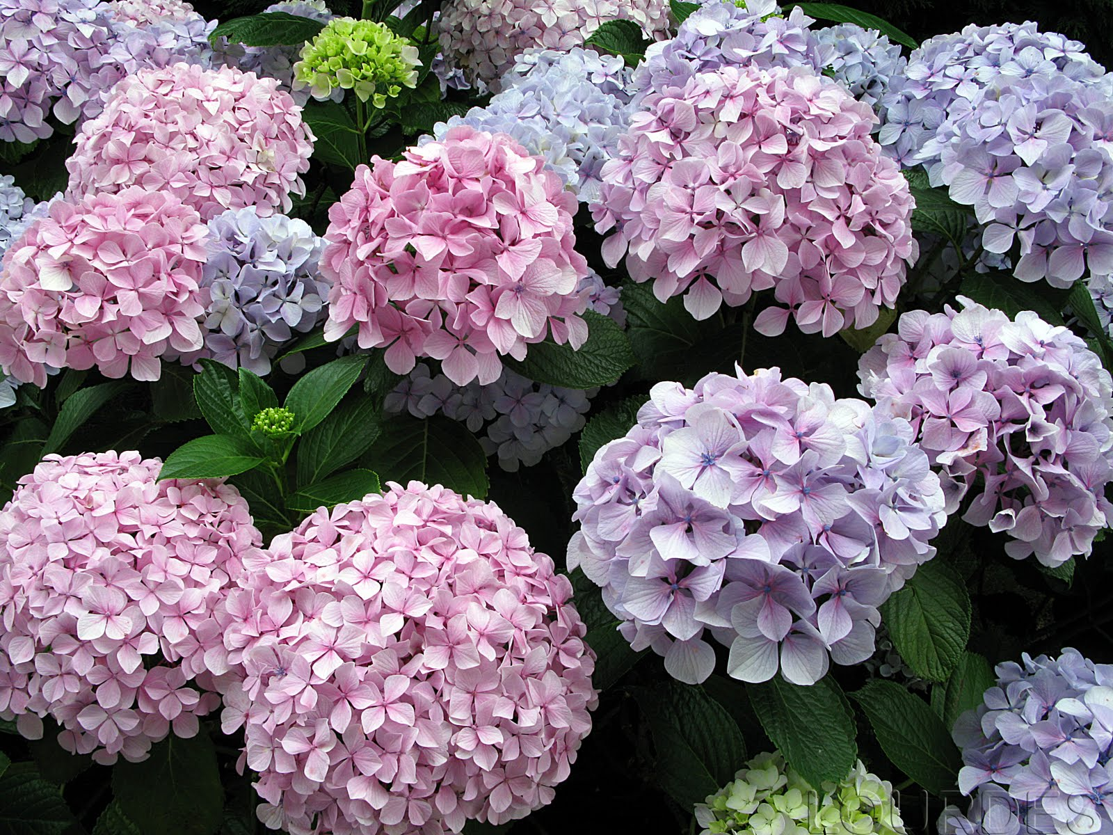 En Tu Jardin Las Hortensias Del Norte - Color-de-las-hortensias