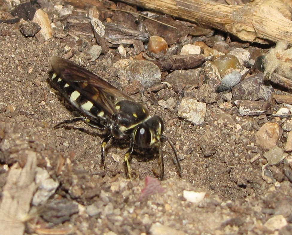 The Comparative Ethology and Evolution of the Sand Wasps