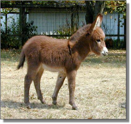 عمر حمارتك كام بقلم (زهرة الفارس) mini-donkey-5742-Foxy-Lady-Sep-14-02a.jpg