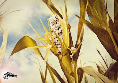Corn into Popcorn - Global Warming Effect 2