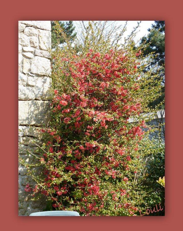 Le jardin d 39 oscar cognassier du japon - Cognassier du japon taille ...