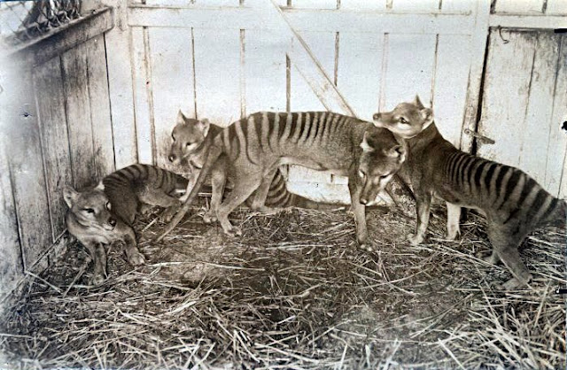 thylacine Tasmanian tiger images