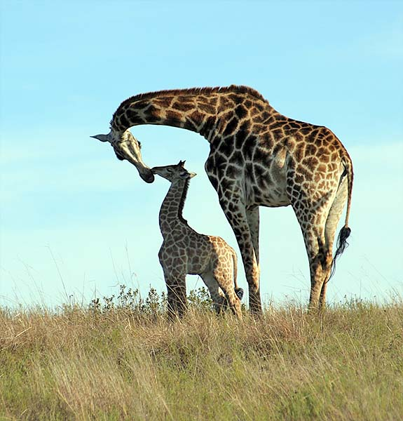 Giraffe motherlove 4967