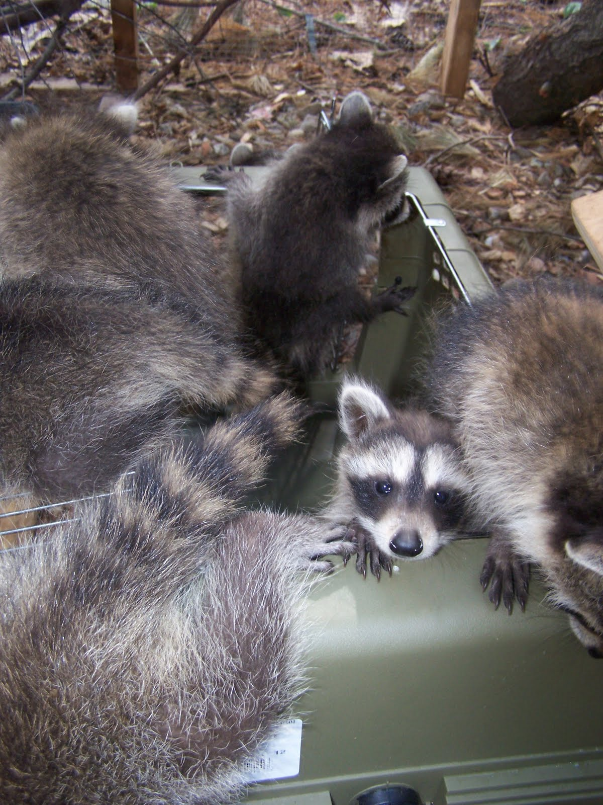 The Laughing Raccoon: The younger kids