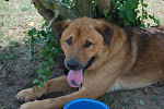 7/13/10  Bear Shep/ chow mix Wants a Chance to Live Georgia