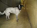 "9/2/10 ""MEDIUM, MALE ADULT CATTLE DOG/HOUND MIX ""ABUSED & LEFT TO DIE?RICHLAND POUND/MANSFIELD"""