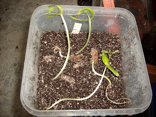 Another Yard in Fort Pierce: How to Sprout Royal Poinciana seeds! Delonix regia