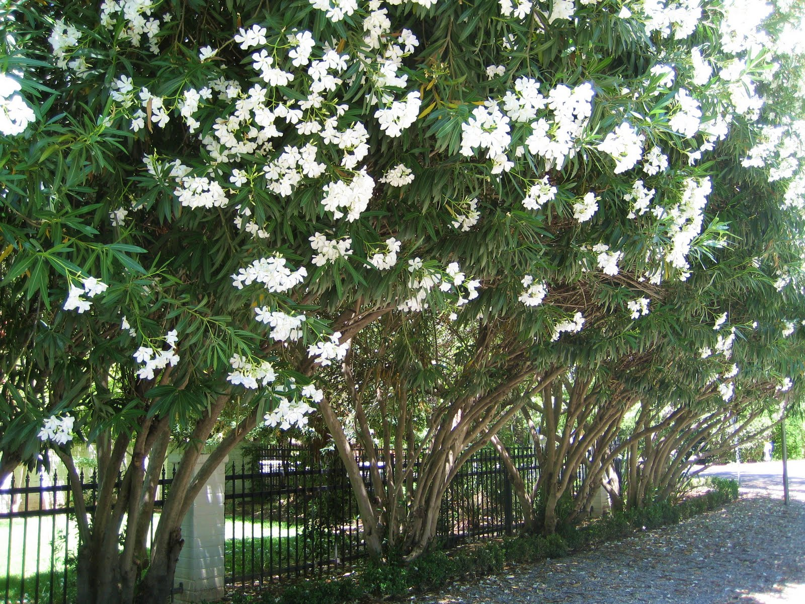 when is the best time to prune oleanders la dolce vita. Black Bedroom Furniture Sets. Home Design Ideas