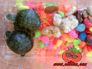 gambar kura-kura kecil jantina jantan dan betina yang comel