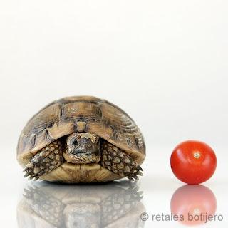 gambar kura-kura comel dengan tomato