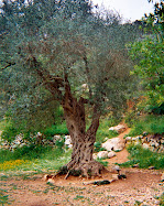 Olive Tree in Israel