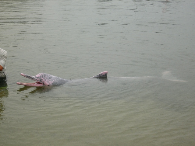 A pink dolphin in Sentosa