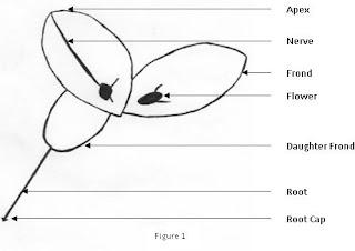 lp. x 40 duckweed diagram #5