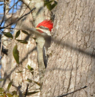 Pileated Woodpecker at Audubon's Francis Beidler Forest by Mark Musselman