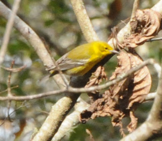 Pine Warbler inspecting curled leaf at Audubon's Francis Beidler Forest by Mark Musselman