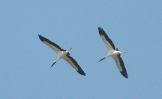 Wood Storks soaring over Audubon's Francis Beidler Forest by Mark Musselman