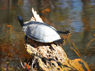 Yellow-bellied Slider at Audubon's Francis Beidler Forest by Mark Musselman