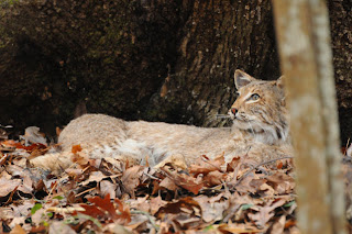 Bobcat at Audubon's Francis Beidler Forest by Mark Musselman