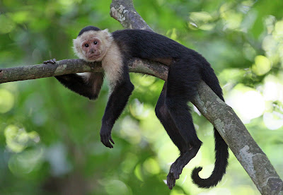 Future Tree Service tree trimmers. The Capuchin Monkey