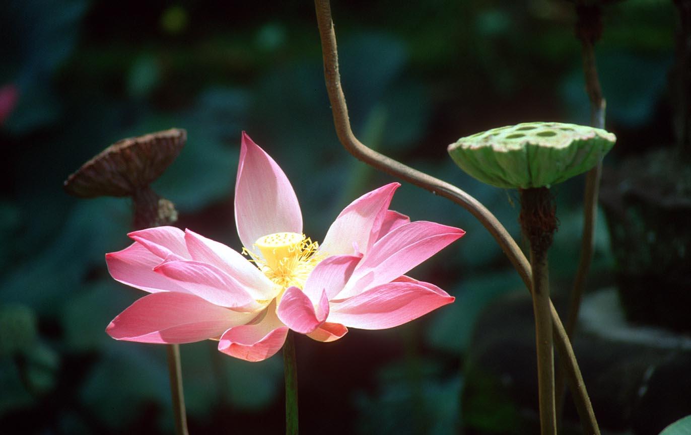 Pinterest Desktop Wallpaper Lotus Quote Garden Flowers In The World Beautiful Lotus