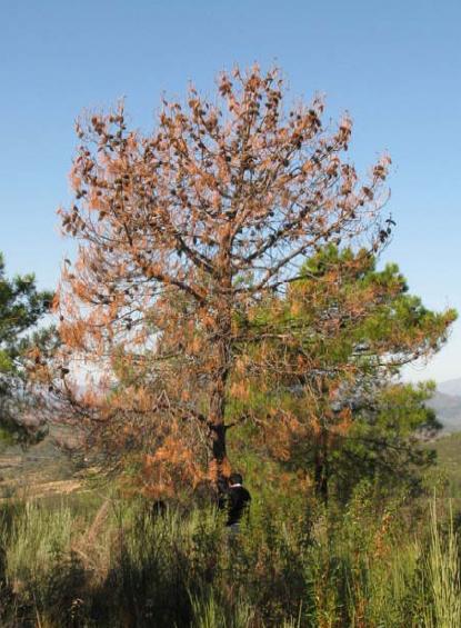 El nematodo de la madera del pino bursaphelenchus - Maderas del pino ...