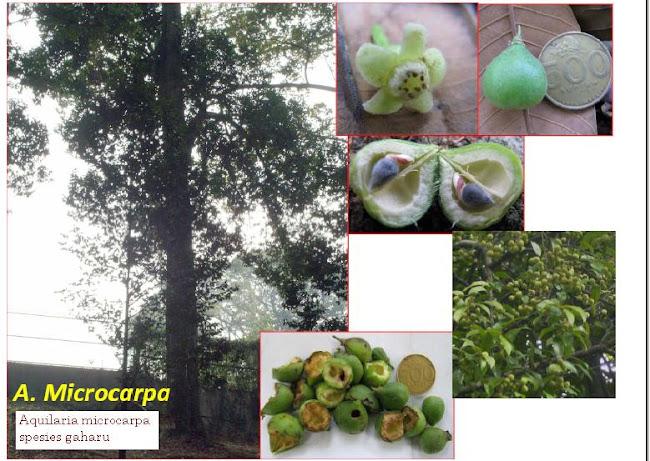 GAHARU - jenis Aquilaria microcarpa