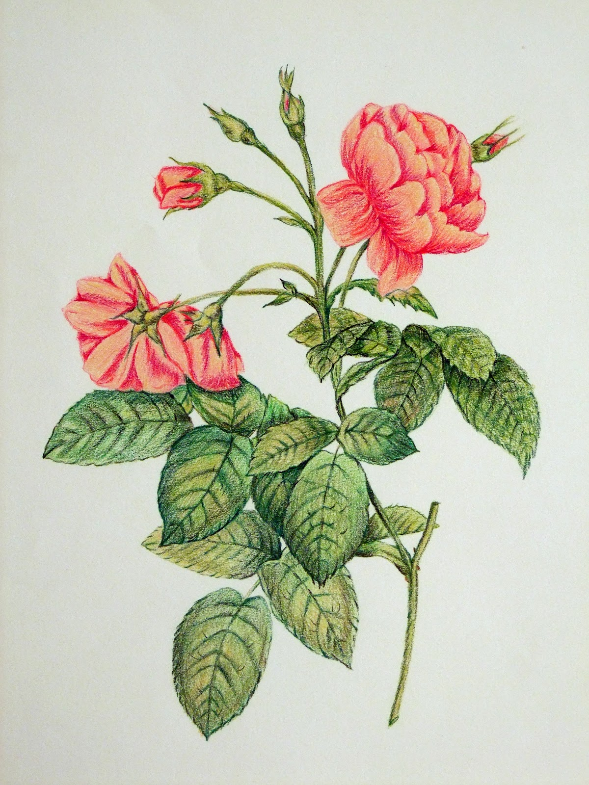 It's just a graphic of Old Fashioned Rose Drawing Color