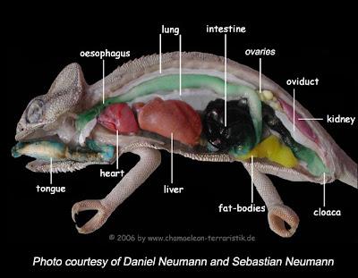 Veiled chameleon skeleton - photo#54