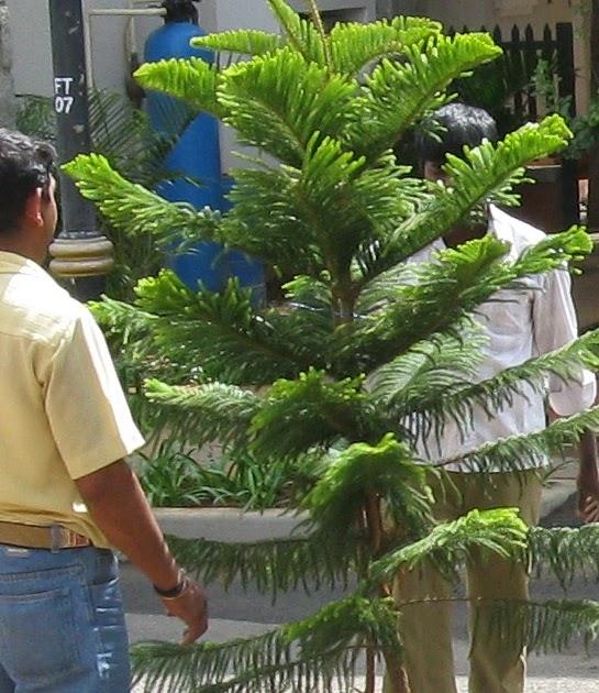 Christmas Tree In India.Nancy S India Blog Oh Christmas Tree