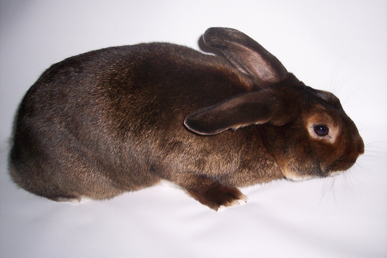 Satin Rabbits For Sale In Az Ca Thumper