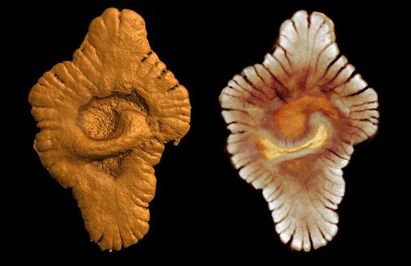 http://2.bp.blogspot.com/_1ece_1s4bkU/TER48M2HWSI/AAAAAAAAJfM/69UADsLGM6k/s1600/earliest complex life fossils by B. Albani-Mazurier.jpg