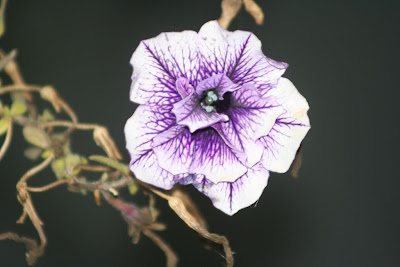 petunia blooming in December, North Carolina