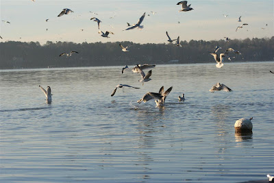 gulls on Lake Gaston