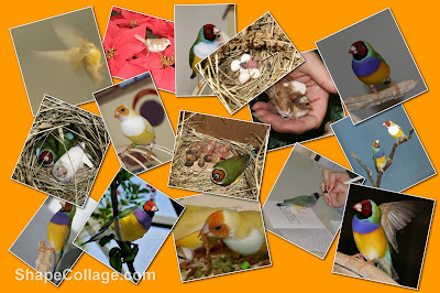 gouldian finch collage