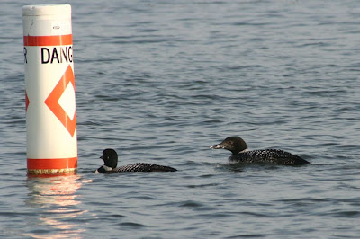 common loons in summer plumage
