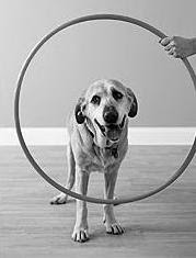 Black and white dog trying to jump through a hoop