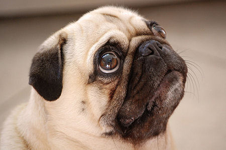 pug says i love you pug dog say quot i love you quot cute dog video clip mix video 2600