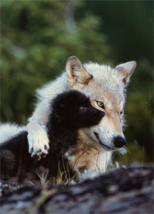 Don't Kill The Animals: The Wolves hunting