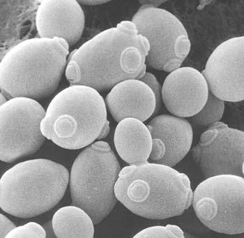 yeast cell budding - photo #31