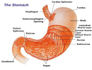 diagram of waist cancers: diagram of stomach #7