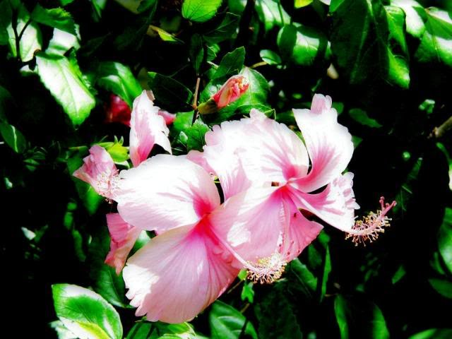 Welcome To Whatever Happened To All The Hibiscus