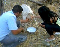 The Henry Milker: How To Build a Goat Milking Stand