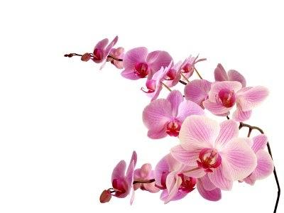 blumensprache die orchidee. Black Bedroom Furniture Sets. Home Design Ideas