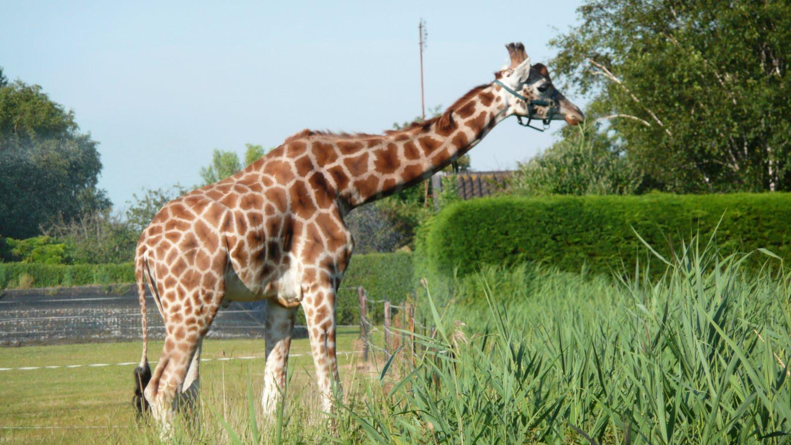 Een Gek Dier De Giraf: Crea10us: Een Giraf In De Wei