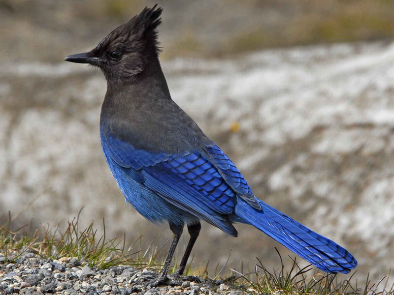 What Birds Have Black Bodies And Blue Heads 117