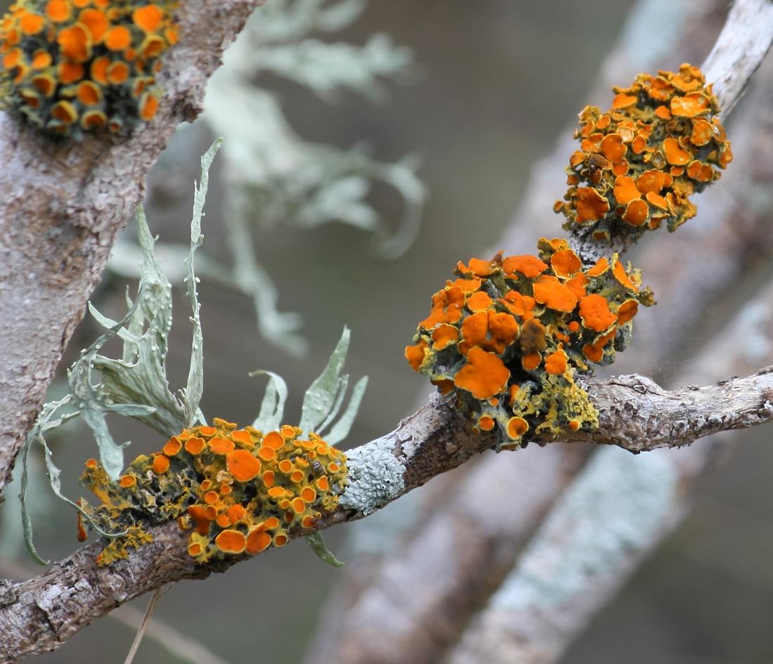 Toowoomba Plants: The Lichen Problem  Toowoomba Plant...