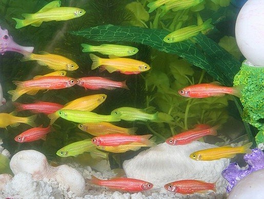 Jagat Raya Neon Tetras In Your Tropical Fish Aquarium