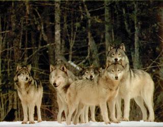 Wolf Meditation ~Written by Jo Lynne Valerie - The 100 Day
