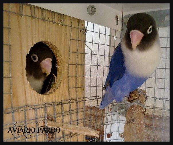 Kandang Ternak Lovebird